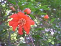 Flor de la granada que sorprende foto de archivo libre de regalías