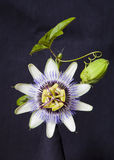 Flor de la granadilla Imagenes de archivo