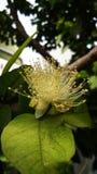Flor de la guayaba foto de archivo