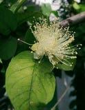 Flor de la guayaba fotografía de archivo libre de regalías