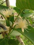 Flor de la guayaba fotografía de archivo
