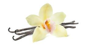 Flor de la haba de vainilla en el fondo blanco Imagen de archivo libre de regalías