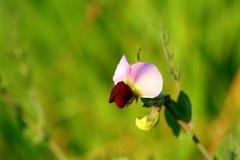 Flor de la haba salvaje Fotografía de archivo