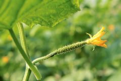 Flor de la hembra del pepino Fotografía de archivo