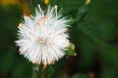 Flor de la hierba Imágenes de archivo libres de regalías