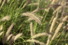 Campo de la hierba de cola de zorra Fotografía de archivo