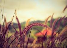 Flor de la hierba del Poaceae en el césped Foto de archivo
