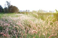 Flor de la hierba en fondo de la puesta del sol Fotografía de archivo