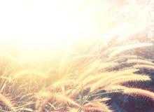 Flor de la hierba en salida del sol Imágenes de archivo libres de regalías