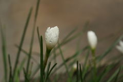 flor de la hierba verde del ornithogalum lilly Imagen de archivo