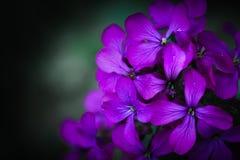 Flor de la honradez Foto de archivo