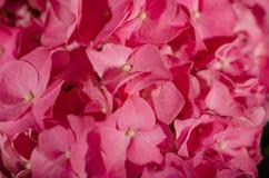 Flor 1 de la hortensia Imagen de archivo