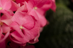 Flor 6 de la hortensia Imagenes de archivo