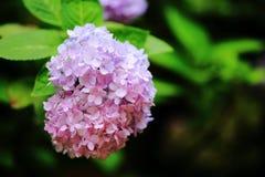 Flor de la hortensia Imagenes de archivo
