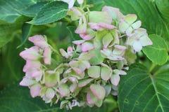 Flor de la hortensia Fotos de archivo