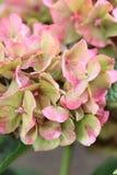 Flor de la hortensia Fotografía de archivo