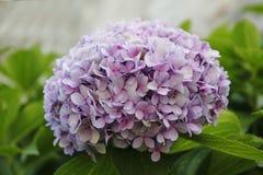 Flor de la hortensia, color de malva, azul, rosa, rosa unos fotos de archivo libres de regalías