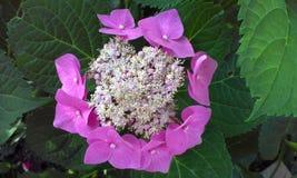 Flor de la hortensia rosada imagenes de archivo