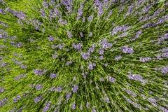 Flor de la lavanda Foto de archivo libre de regalías
