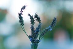 Flor de la lavanda. Imágenes de archivo libres de regalías