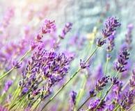 Flor de la lavanda Fotos de archivo