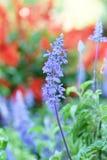 Flor de la lavanda Imagen de archivo