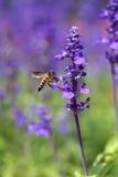Flor de la lavanda con la abeja Fotos de archivo