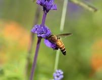 Flor de la lavanda con la abeja Imagenes de archivo