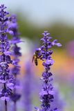 Flor de la lavanda con la abeja Imagen de archivo
