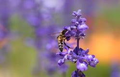 Flor de la lavanda con la abeja Imagen de archivo libre de regalías