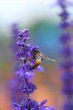 Flor de la lavanda con la abeja Fotos de archivo libres de regalías