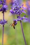 Flor de la lavanda con la abeja Imágenes de archivo libres de regalías