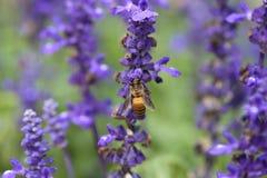 Flor de la lavanda con la abeja Foto de archivo libre de regalías