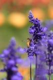 Flor de la lavanda con la abeja Foto de archivo