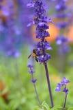 Flor de la lavanda con la abeja Fotografía de archivo
