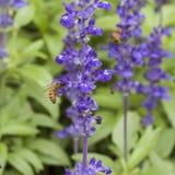 Flor de la lavanda con la abeja en el jardín Foto de archivo