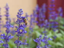 Flor de la lavanda con la abeja en el jardín Fotos de archivo libres de regalías