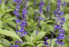 Flor de la lavanda con la abeja en el jardín Imagenes de archivo