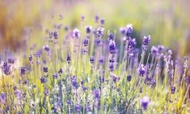 Flor de la lavanda de la primavera Fotos de archivo