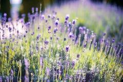 Flor de la lavanda de la primavera Imágenes de archivo libres de regalías
