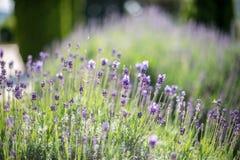 Flor de la lavanda de la primavera Fotografía de archivo libre de regalías
