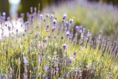 Flor de la lavanda de la primavera Foto de archivo libre de regalías