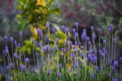 Flor de la lavanda en jardín Fotos de archivo libres de regalías