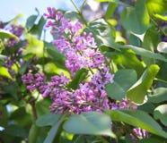Flor de la lila foto de archivo