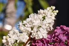 Flor de la lila imagenes de archivo