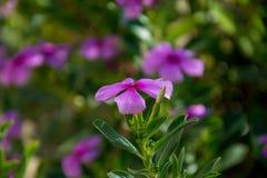 Flor de la lila Fotos de archivo libres de regalías
