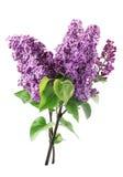 Flor de la lila aislada imágenes de archivo libres de regalías