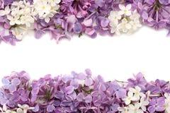 Flor de la lila aislada en el fondo blanco Visión superior Imagen de archivo