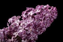 Flor de la lila aislada en negro Foto de archivo