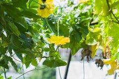 Flor de la lufa de la flor Imagen de archivo